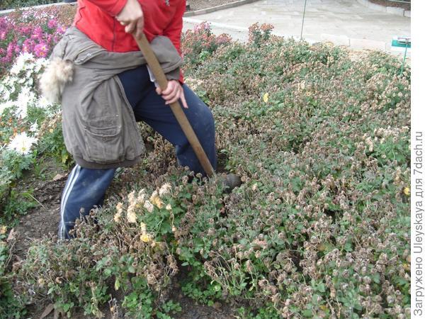 Выкапываем хризантемы