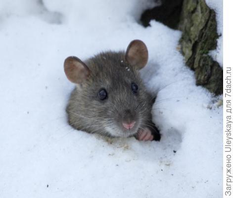 Зимняя гостья
