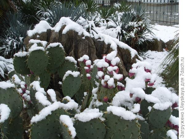 Опунция в снегу