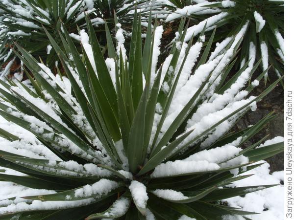 Юкка в снегу
