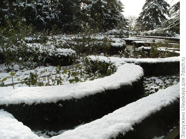 снег в розарии