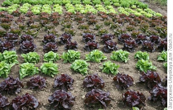 Фрагмент современного декоративного огорода с салатами