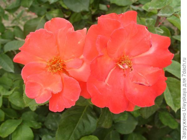 Подобные розы соседствовали с укропом