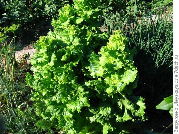 Однолетний салат посевной