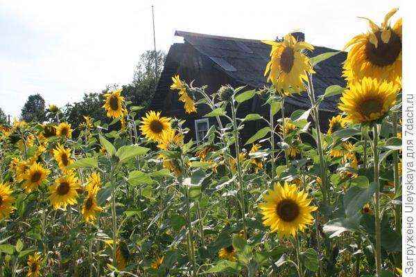 Высокорослое растение - подсолнечник однолетний