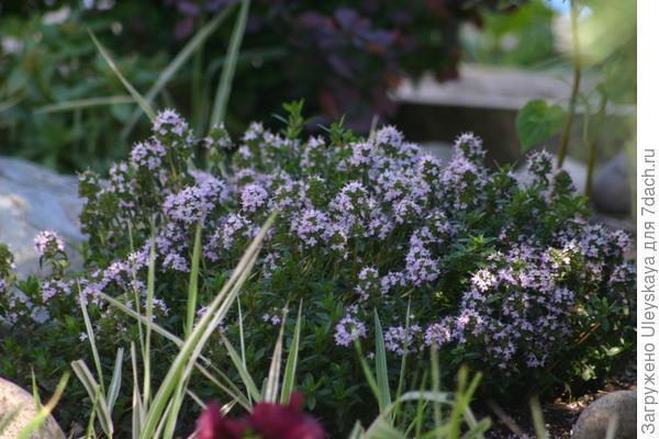 Тимьян ползучий - низкорослое растение