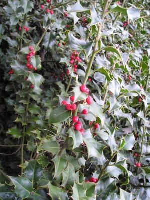 Падуб остролистный в Никитском ботаническом саду