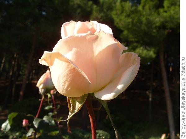 Цветут розы