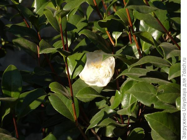 Распускаются роскошные цветки белой камелии