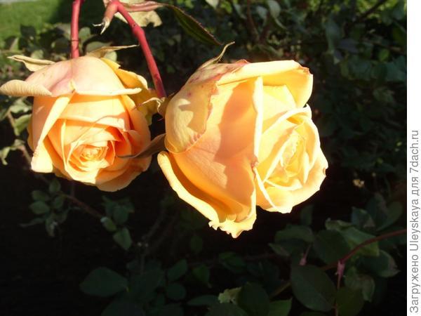 Цветут розы в декабре