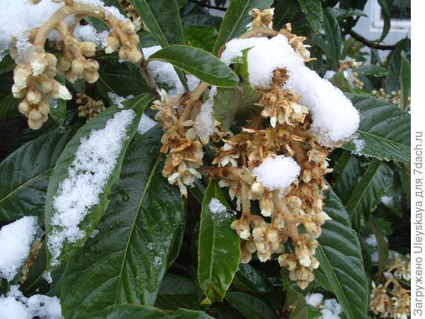 мушмула японская под первым снегом