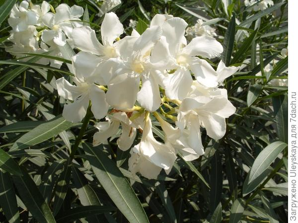 Цветут олеандры 2