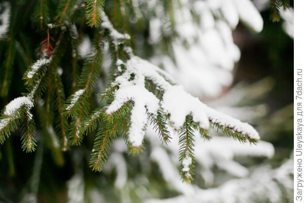 Еловая лапа в снегу. Фото Наташи Гуринович