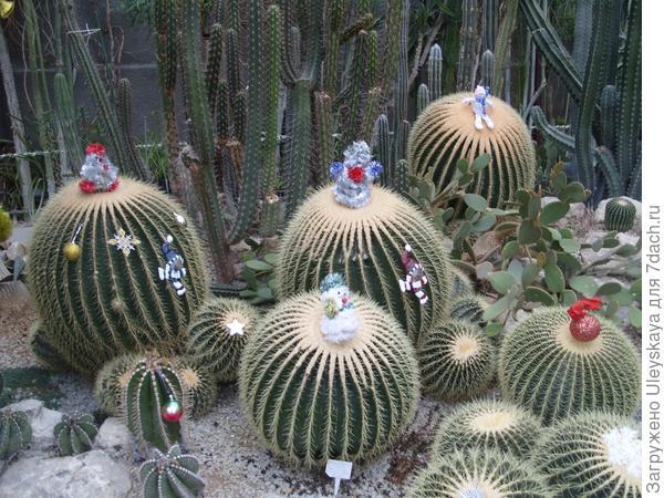 Эхинокактусы Грузона в новогоднем наряде