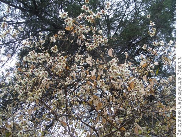 Цветет зимоцвет ранний