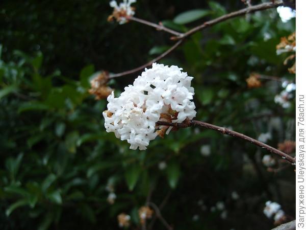 цветет калина