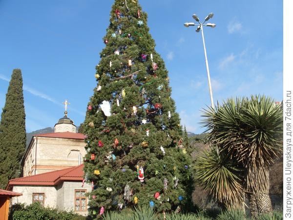 Секвойядендрон гигантский в новогоднем наряде