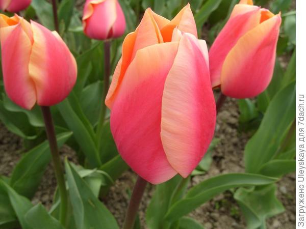 Тюльпан сорт Dawnglow