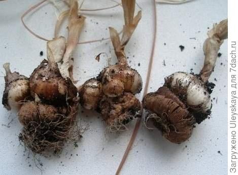 Деление крокуса луковицами