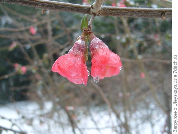 На юге цветки хеномелеса японского распустились прямо на ветках кустарника
