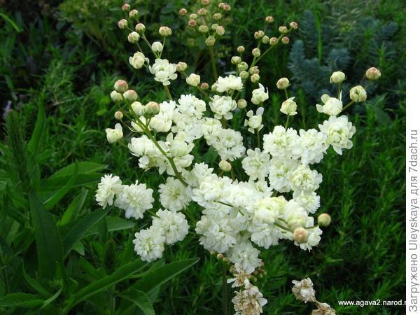 Лабазник обыкновенный сорт Flore Pleno