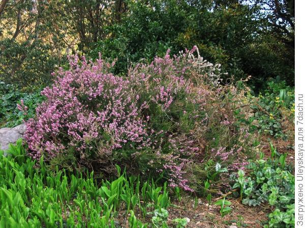 Многие сорта эрики цветут повторно весной