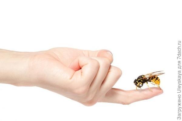 Петрушка эффективна при укусах насекомых