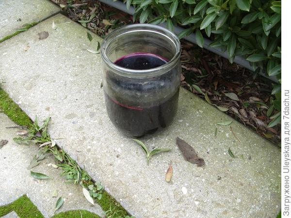Баночка марганцовки для дезинфекции секаторов и пилочек при обрезке роз