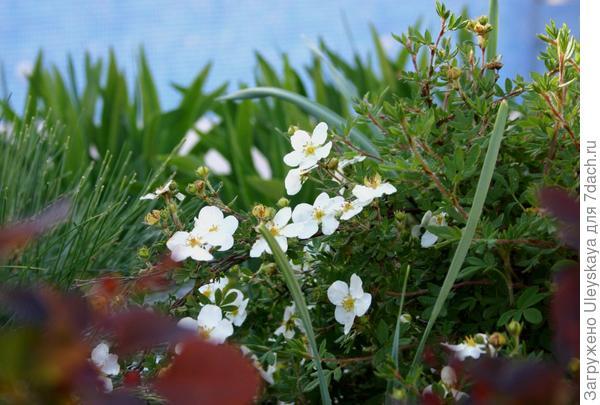 Лапчатка кустарниковая с белыми цветками