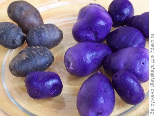 Картофель сорт 'Franzosische Truffelkartoffel'