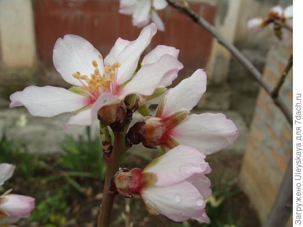 Опять весна, опять цветет миндаль