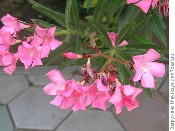 Олеандр обыкновенный - ядовитое растение