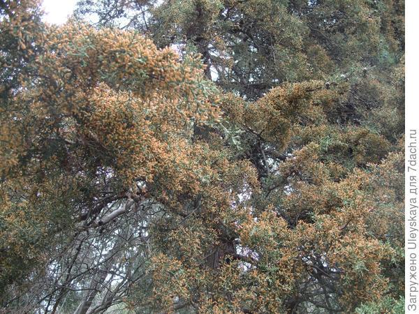 Кипарис аризонский