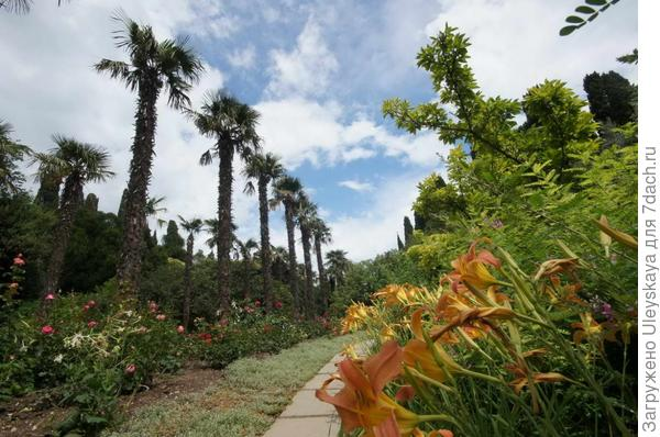 Пальмовая аллея и лилейники