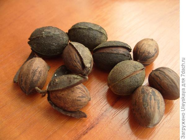 Орехи пекана