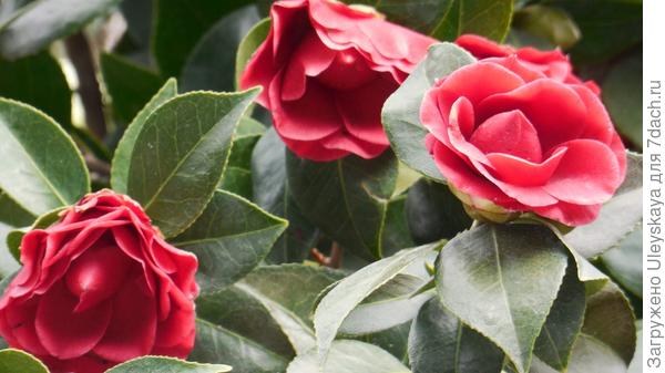 Цветет камелия японская