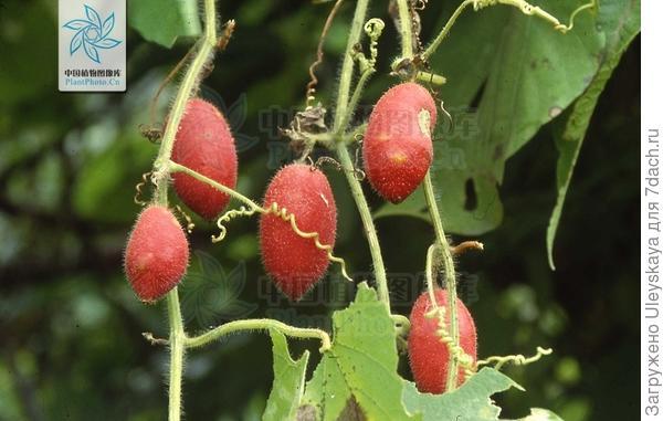 Плоды тладианты