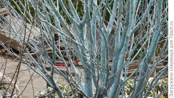 Обработанное медным купоросом дерево персика