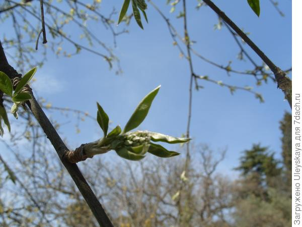 Цветочный побег бобовника обыкновенного