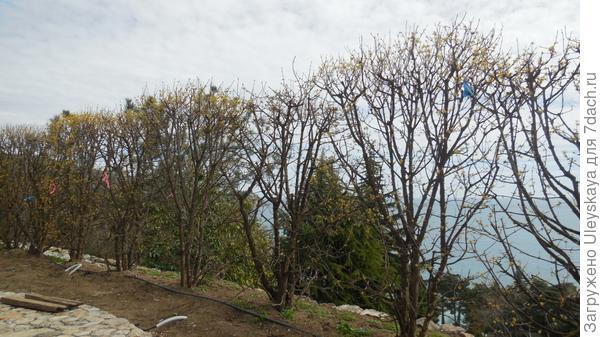 Кизиловая изгородь