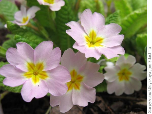 Цветут первоцветы или примулы