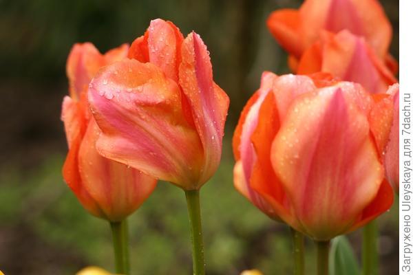 Тюльпан сорт My Lady из Дарвиновых Гибридов