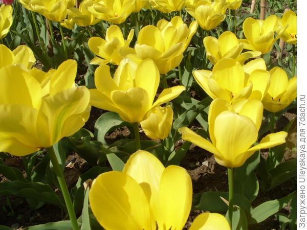 Тюльпан сорт Euromast из класса тюльпанов Фостера