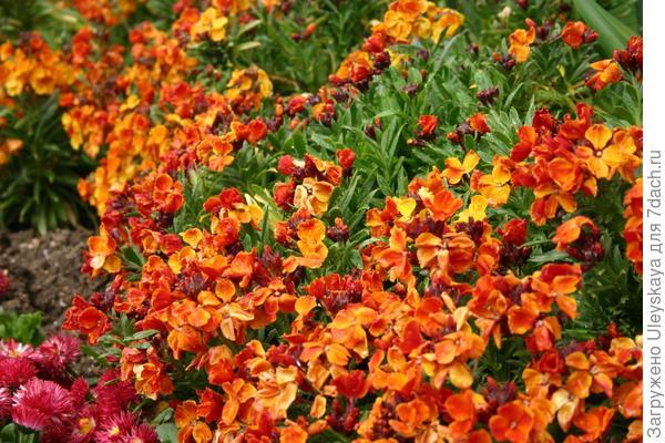 Роскошное цветение лакфиоли в 2006 году