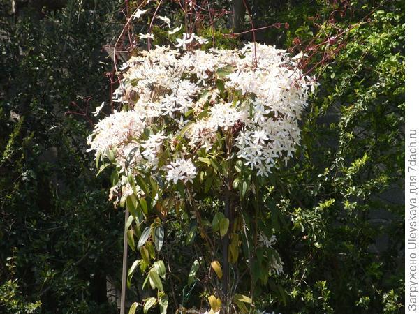 Цветет клематис Арманда