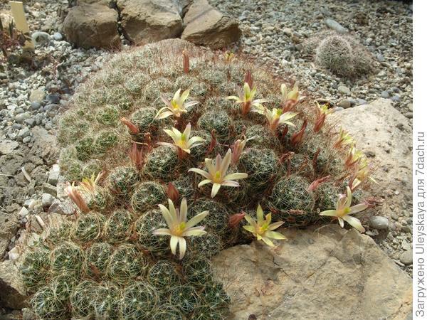 Цветут кактусы