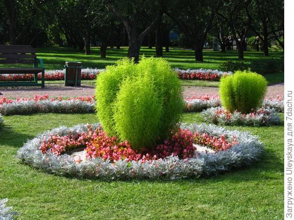 Фокусное растение - кохия венечная