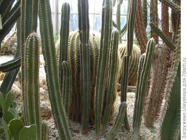 В кактусовой оранжерее Никитского ботанического сада