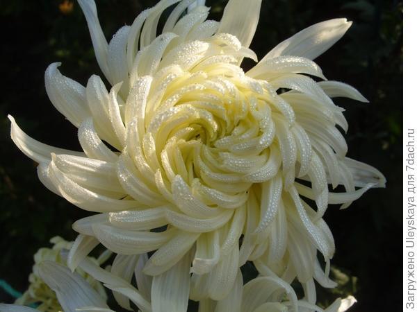 Хризантема сорт Queen Mary