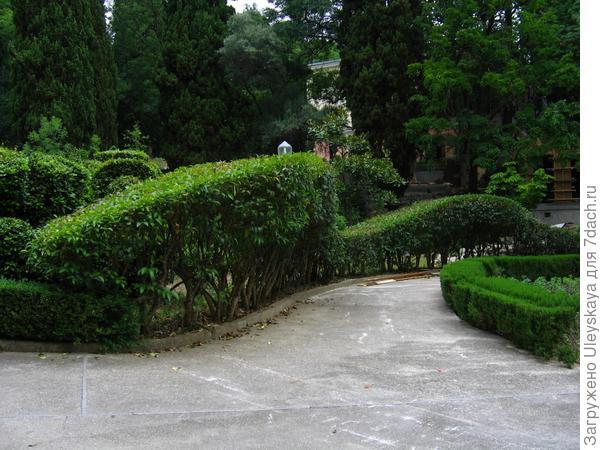 Вечнозеленая формованная живая изгородь
